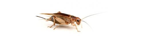 Żywe owady karmowe